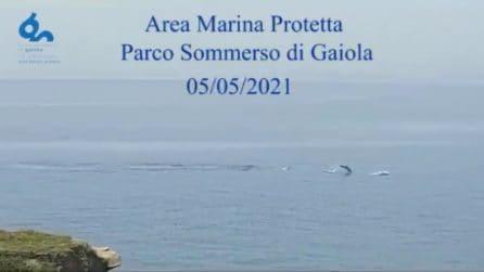 Delfini saltano e nuotano nel Parco Sommerso di Gaiola: che spettacolo nel Golfo di Napoli