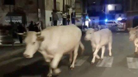 Mucche in strada a Itri: i bovini bloccano il traffico in serata