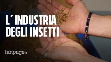 """Via agli allevamenti di insetti in Veneto: """"Sono buoni e nutrienti, anche per fare i biscotti"""""""
