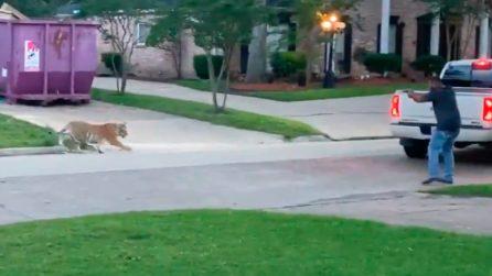 Tigre vaga per le strade e tiene in apprensione un quartiere per un'intera settimana
