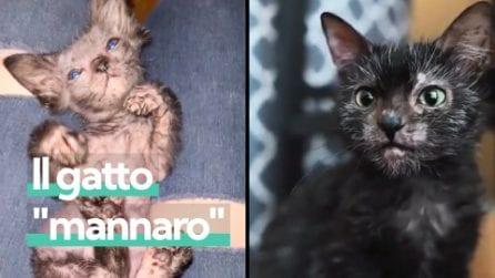 Gracie, il gatto che somiglia a un lupo mannaro a causa di una rara mutazione genetica