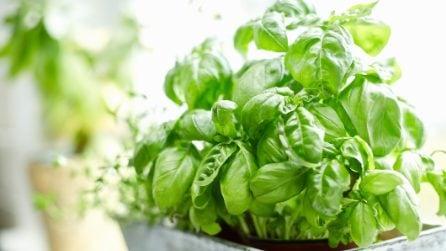 Come mantenere il basilico fresco più a lungo