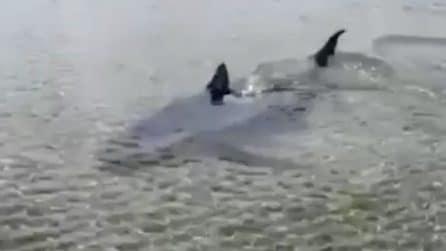 Lo squalo nuota fino a riva e poi riprende il largo a Castellaneta Marina
