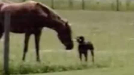Il cane prende una carota e la porta al suo amico cavallo: una tenera amicizia