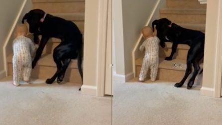 Il cane premuroso che controlla che la piccola non salga le scale