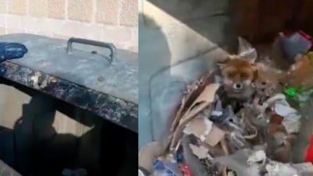 """""""Ora ti liberiamo, non aver paura"""", volpe chiusa in un cassonetto della spazzatura ritorna in libertà"""