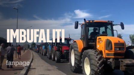 """Marcia di trattori degli allevatori di bufale: """"Oltre 140 mila abbattimenti per brucellosi e tubercolosi"""""""