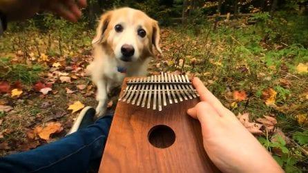 Suona una canzone dei Beatles con la kalimba: il cane si innamora della dolce melodia