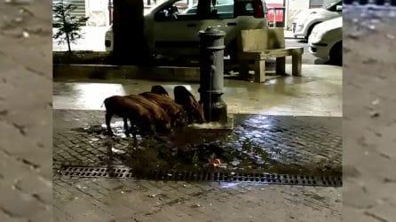 Cinghiali si abbeverano alla fontanella: continuano gli avvistamenti a Roma