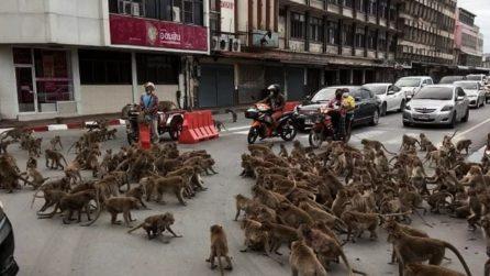 Scimmie lottano tra loro e bloccano il traffico, non ci sono più turisti che danno loro da mangiare