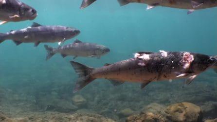 Il video dei salmoni cotti vivi nell'acqua a causa del caldo estremo