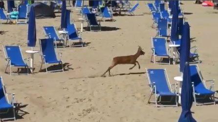 Bibione, spunta un capriolo in spiaggia e corre tra i bagnanti