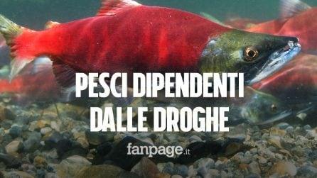 I pesci stanno diventando dipendenti dalle droghe scaricate nelle acque dei fiumi