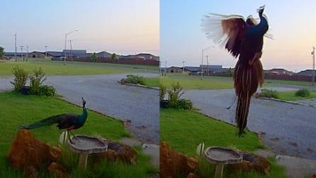 Avete mai visto volare un pavone? Questa telecamera a circuito chiuso mostra il momento