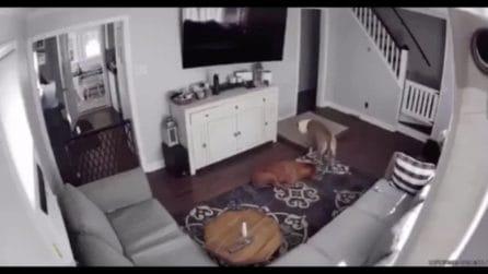 La telecamera mostra come il cane si prende cura del fratello malato