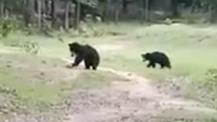 Orsi selvatici corrono verso dei ragazzi nel bosco: non sono aggressivi, vogliono solo giocare a calcio