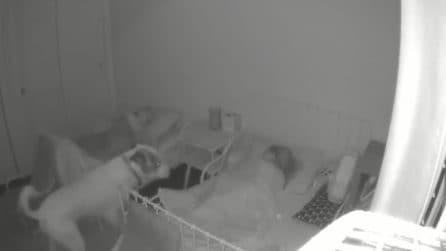 Ogni notte prima di andare a dormire la stessa scena: il cane fa una visita ai suoi padroncini