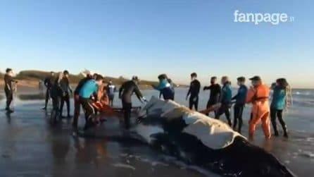 L'imponente salvataggio di una balena spiaggiata