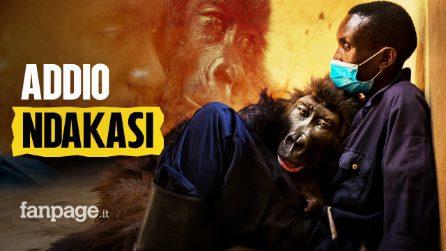 """Addio a Ndakasi, la gorilla """"orfana"""" morta a 14 anni tra le braccia dell'uomo che l'ha protetta"""