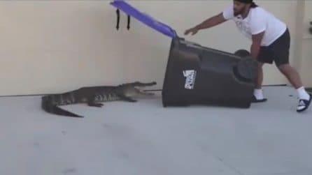 Un alligatore entra nel suo giardino: l'uomo mostra tutta la sua freddezza
