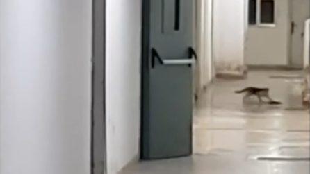 Gatto insegue un topo nel corridoio dell'ospedale di Paola