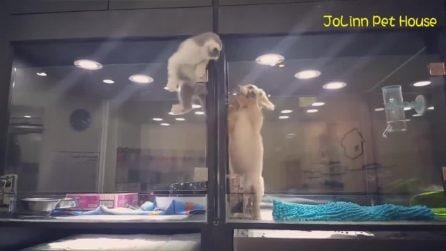 Il gattino che scavalca la barriera per poter andare a giocare con il suo amico cagnolino