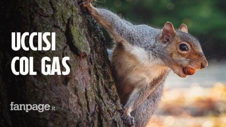 L'Emilia Romagna ha deciso di catturare e uccidere col gas tutti gli scoiattoli grigi: ecco perchè