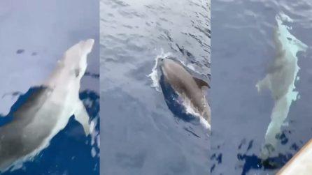 Delfini giocano con un'imbarcazione a Capri