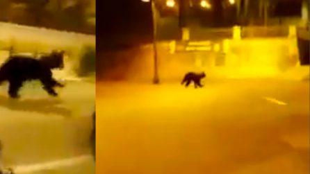Cucciolo di orso marsicano si aggira nel paese, apprensione tra i residenti