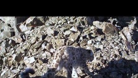 WWF: ecco la coppia più anziana di leopardi delle nevi